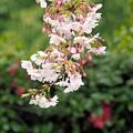 Photos: 桜と椿