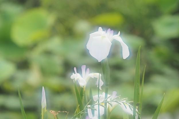 Photos: 花菖蒲