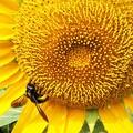 クマバチとヒマワリ