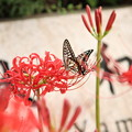 曼珠沙華とアゲハ蝶