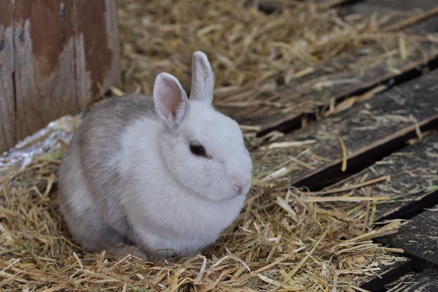 ウサギ 1