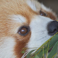 Photos: レッサーパンダ 3