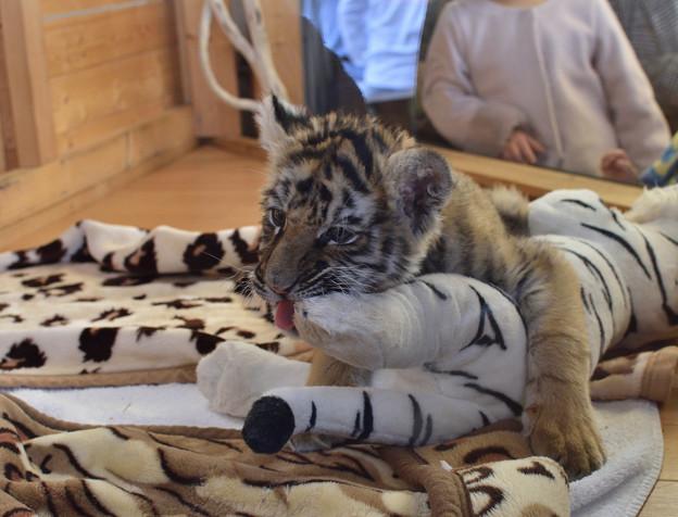 トラの赤ちゃん 2