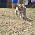 Photos: トラの赤ちゃん 4