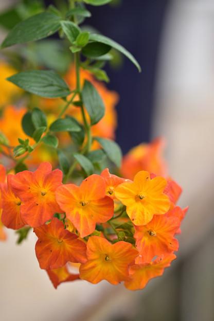 オレンジマーマレードの木