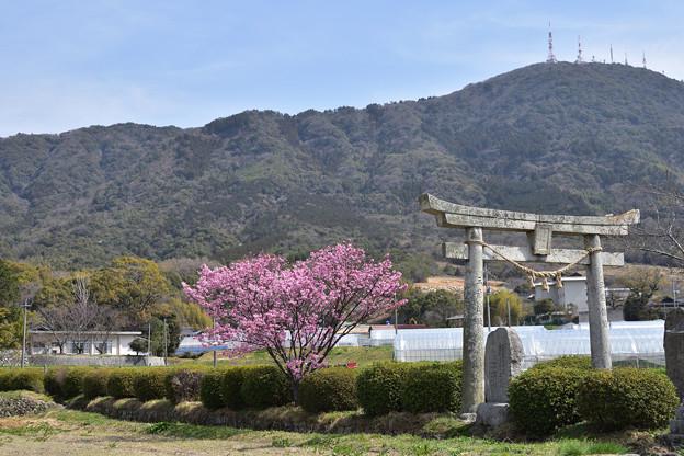 春日神社のハート桜