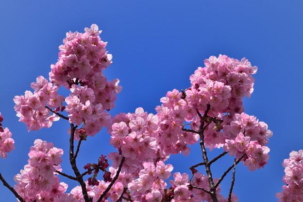 陽光桜 1