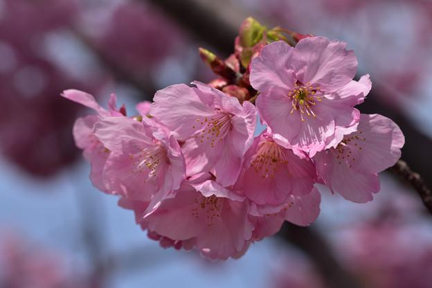 陽光桜 2