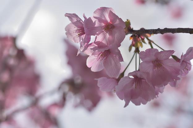 陽光桜 3