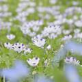 ネモフィラ花壇