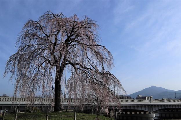 鴨川・枝垂桜1