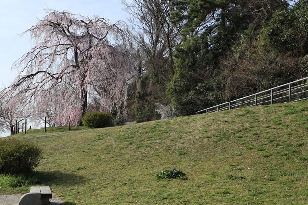 鴨川・枝垂桜6