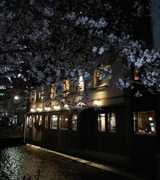 高瀬川・夜桜1