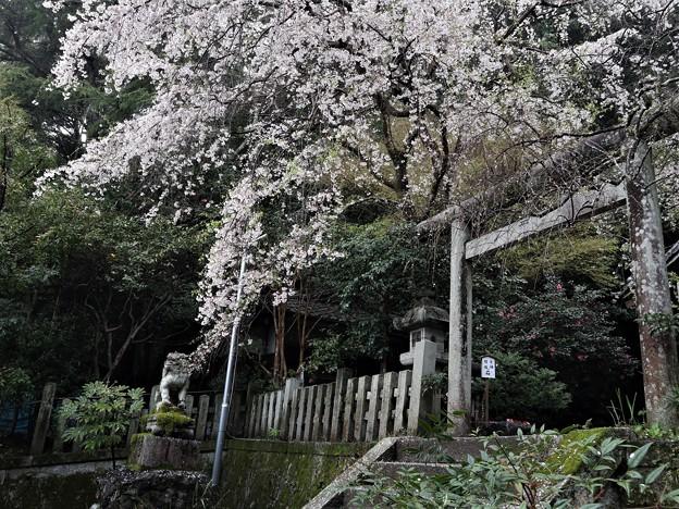 大豊神社・枝垂桜1