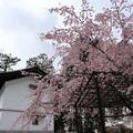 知恩寺・紅枝垂桜
