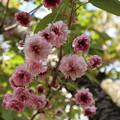キクザクラ(菊桜)1