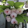 ケンロクエンキクザクラ(兼六園菊桜)3