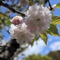 カマタリザクラ(鎌足桜)2