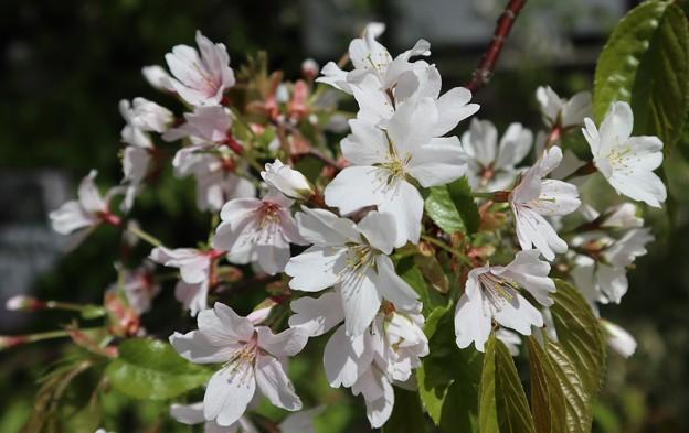 キタノザクラ(北野桜)1