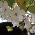 オムロアリアケ(御室有明)<歓喜桜>
