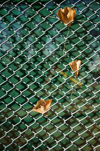 フェンスの落葉