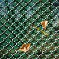 Photos: フェンスの落葉
