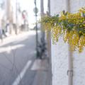 Photos: ミモザの咲く道