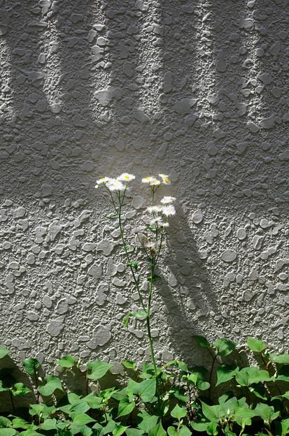 壁ぎわに咲く