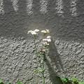 Photos: 壁ぎわに咲く