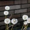 Photos: たんぽぽ