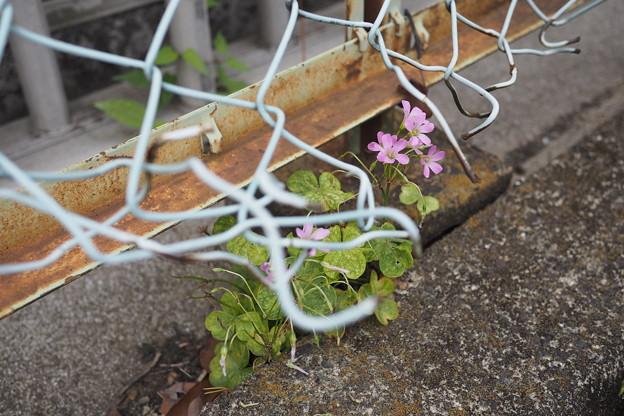 フェンス際に咲く
