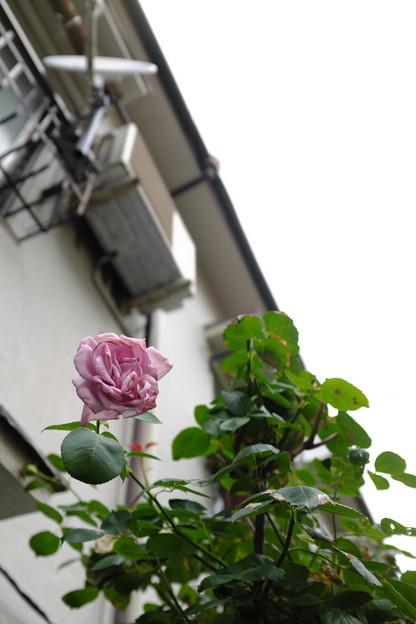 枯れかけの薔薇
