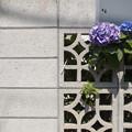 塀の紫陽花