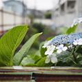Photos: アパートの紫陽花