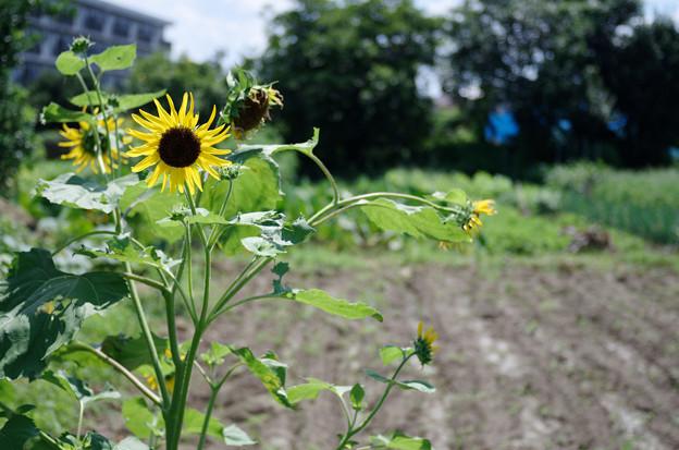 畑の向日葵