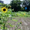 Photos: 畑の向日葵