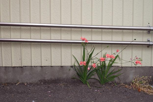 パイプと花