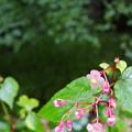 Photos: 秋海棠