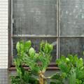 窓辺のサボテン