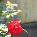 街角の薔薇