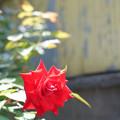 Photos: 街角の薔薇