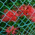 フェンスの彼岸花