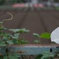 Photos: 畑の朝顔