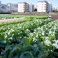 団地とブロッコリー畑