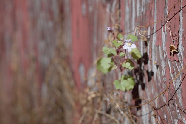 板壁に咲く