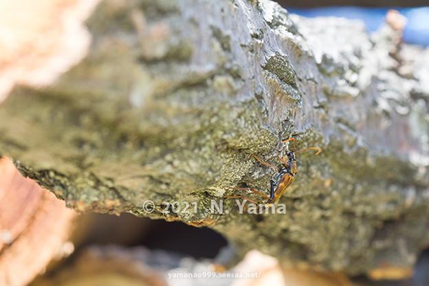 ツマグロハナカミキリ
