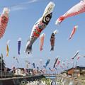 Photos: 大谷川鯉のぼり川渡し2021