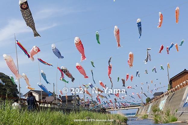 大谷川鯉のぼり川渡し2021