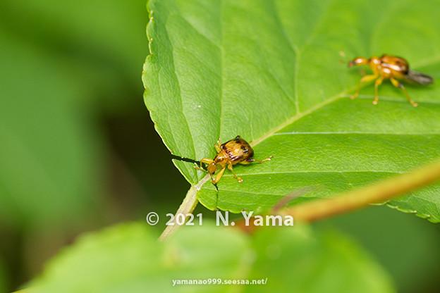 Photos: ウスモンオトシブミ