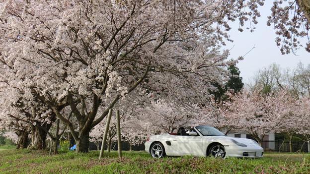 迫力の桜風景